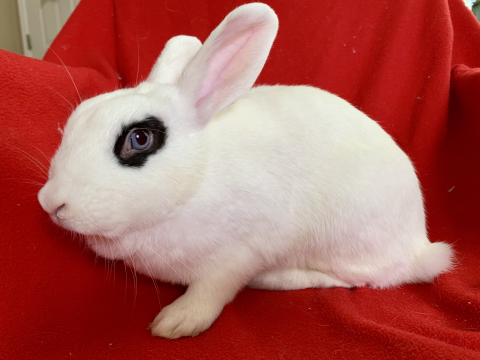 Bunnies For Sale Near Me >> Rabbits Available For Adoption