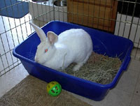 : can rabbits be litter box trained - Aboutintivar.Com